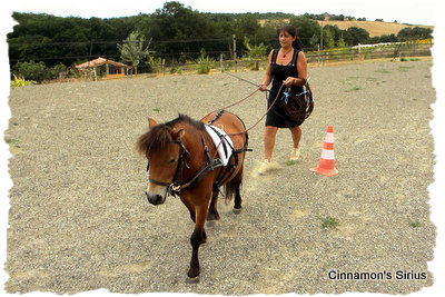 long rein training for driving horse