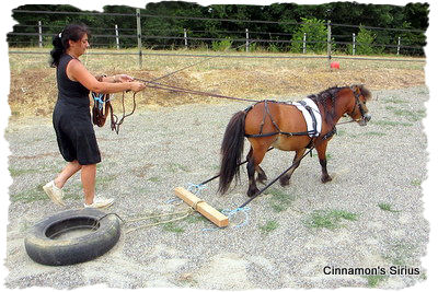 cheval miniature tire un pneu