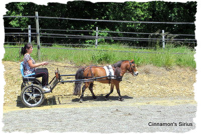 driving training of the miniature horse