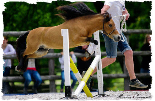 Saut d'obstacles cheval miniature
